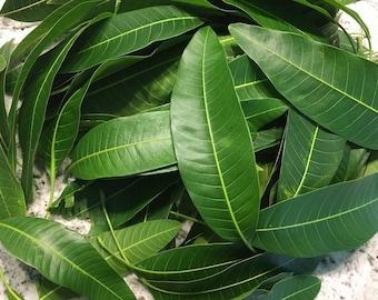 150+ Fresh Mango Leaves Natural Organic No Pesticide No Chemical USA South Florida No Shipping Cost