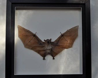A LARGE FLYING BAT with a wingspan of approx 250mm (10inch )