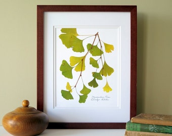 Pressed Ginkgo leaves print, 11x14 double matted, botanical art, wall decor no. 0033