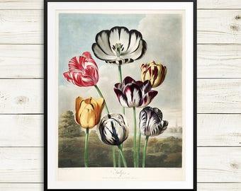 Tulip art print, vintage tulips print, large botanical print, large vintage tulip art, botanical art set, antique botanical art, tulip bulbs