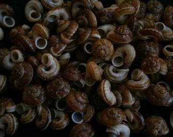 CYCLOPHORUS LINGUIFERUS Land  Seashells  (2 Shells)