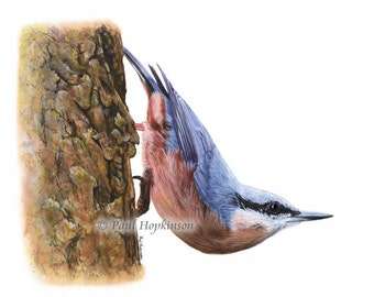 Bird Print NUTHATCH, Watercolour Painting, Giclee Print, Bird Lover Gift