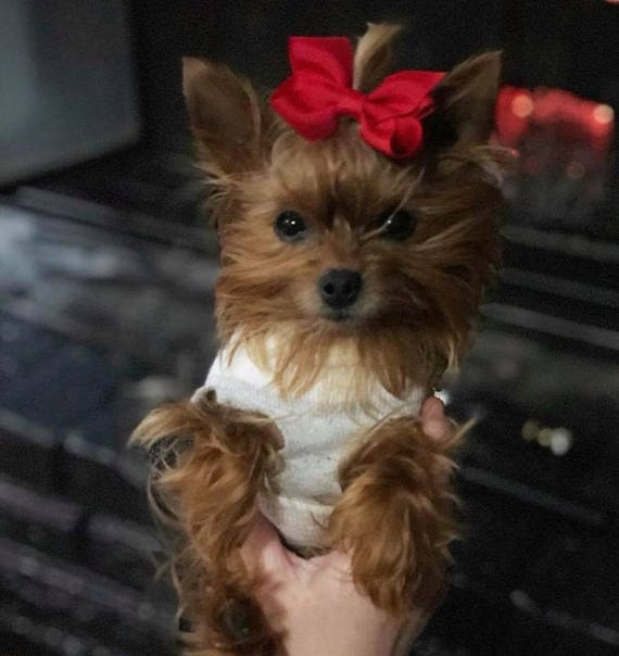 Amazing Puppies Bow Adorable Dog - il_570xN  Photograph_935142  .jpg?version\u003d1