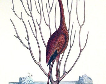 Pink Flamingo - Mark Catesby ~  1740 ~ Wildlife lithograph ~ Natural History of Carolina ~ Giclee Art Print - Nature Wall Art