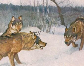 Wolf Pack neue Hunde In der Nachbarschaft Jahrgang Naturgeschichte Lithographie Druck 1914 Illustration Deutschland