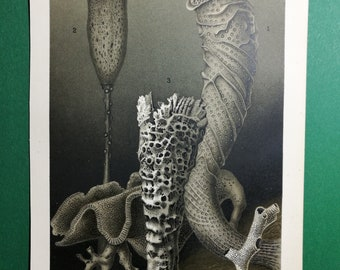 Glass Sponges, original old print from an old german book, 1895