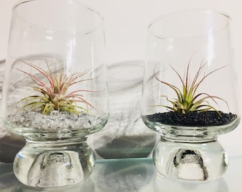 Tillandsia (Air Plant) in Glass - Decorative