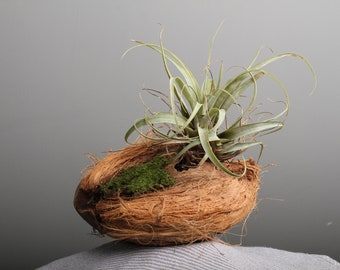 Coconut island terrarium with moss and air plant