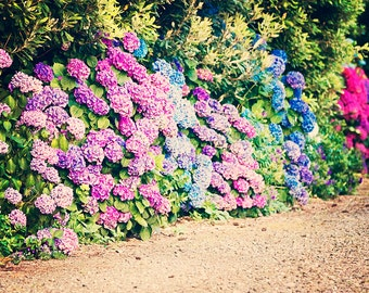Hydrangea Lane - 8x10 photograph - fine art print - nature - nursery art - New Zealand Art - spring photography