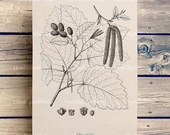 Tree print, Digital Image, Download print, Vintage Graphics, Botanical art, Antique print, Alder tree, Chart, Tree printable JPG PNG 300dpi