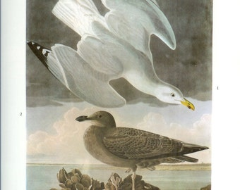 John James Audubon Bird Print - Herring Gull - Vintage Natural Science Home Decor Art Illustration Great for Framing