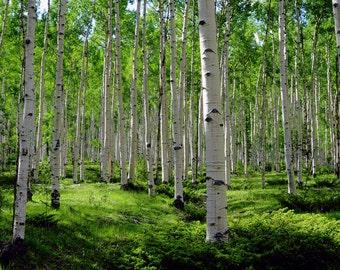 Aspen trees photo, mountain meadow photo, summer green art, aspen trees wall art, aspen tree decor, rustic wall decor, cabin decor, nature