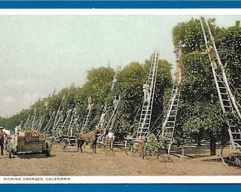 Vintage Postcard -  A Horse and Wagon Waiting for the Oranges to be Harvested From a California Orchard  (2522)