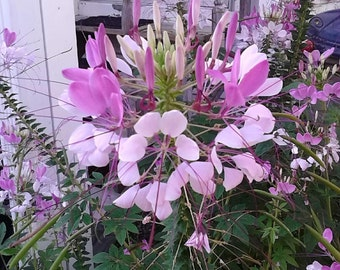 Cleome Seeds Color Fountain Mix, Spider Plant, Attracts Hummingbirds and Butterflies to Your Garden, Flower, 25 Seeds