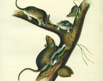 16X20 Giclee ready to hang from an  original  hand colored stone lithograph by JJ Audubon 1841