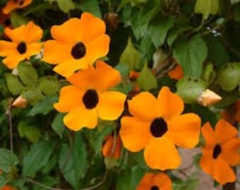 Black Eyed Susan Vine Seeds, Thunbergia Alata, Vine Seeds, Flower Seeds