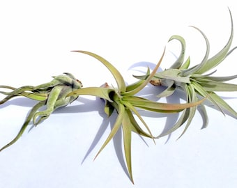 Air Plant Xeric Variety Mix of 10