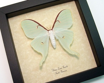 Real Green Actias Luna Moth Female Framed Display 792A