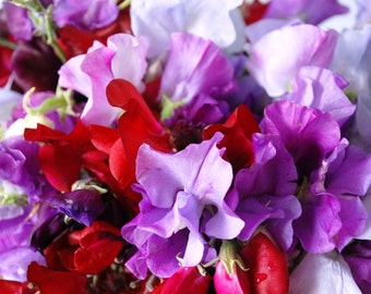 Sweet Pea Royal Family Mix 50 Seeds 4 Grams