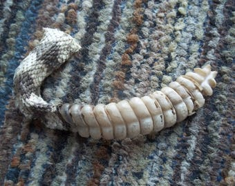 Cruelty Free Rattler's Tail and Rattle Taxidermy Religious Educational Magic Spell Art Real Curiosity Reptile Herp Serpent Rattlesnake