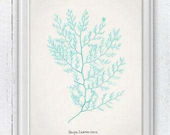 Sea foam seaweed- Dasya seaweed- sea life art print -Marine  sea life illustration, Seafoam wall decor, shore house SWC097