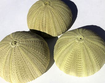 Bulk Green Sea Urchins