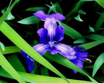 digital download, wild iris, blue flower, woods, woodland, forest, wild flower, home decor