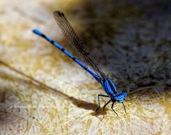 Blue Damselfly