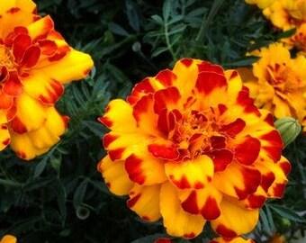 Bolero Marigold, 30+ flower heirloom seeds
