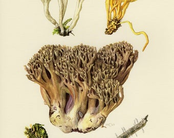 Vintage lithograph of coral fungi, golden spindles, wrinkled coral fungus from 1963