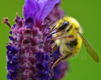 LAVENDER BEE, Vancouver Island, black and yellow bee on Lanvender flower plant