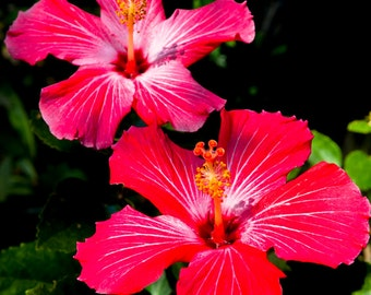 Red Hibiscus II