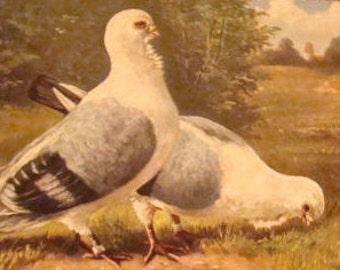 SALE Vintage Postcard (Pidgons)