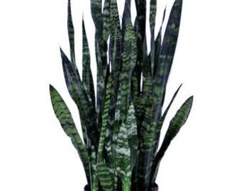 """Black Coral Snake Plant in 10"""" Pot (SKU: 11024)"""