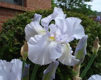 Wright Iris - Starchy Sue