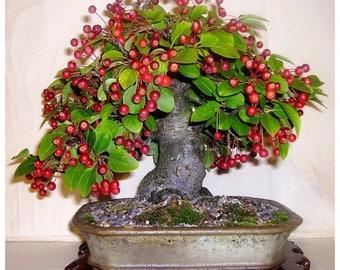 Bonsai - CRAB APPLE (Malus sylvestris)