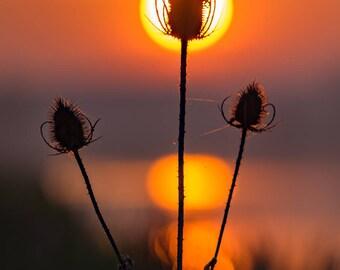 Teasels at dawn, watermeadows, Ely, UK