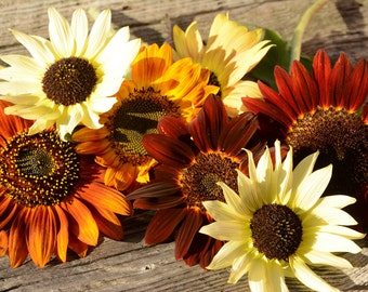 Mix Sunflower Seeds, Red and Yellow Sunflowers, Great for Cut Flower Gardens, Pollinator Garden Plants