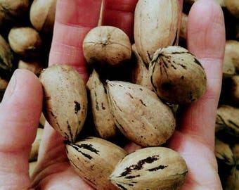 Fresh pecans~ Best price and best taste fresh 2017 small pecan sweet buttery tasty pecans