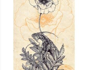 Papaver Draconis - The Poppy Dragon