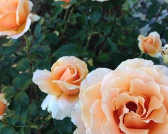 Peach Roses Digital Photograph