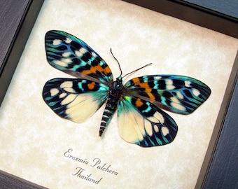 Real Framed Erasmia Pulchera Verso Day Flying Moth 8214V