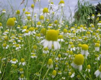 Chamomile Seeds- German- Heirloom Herb-  500+ Seeds