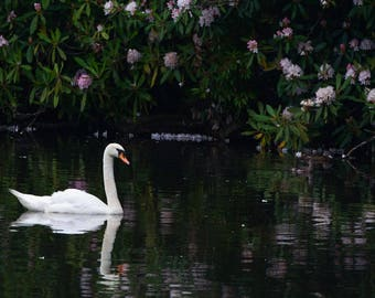 Mute Swan With Flowered Background