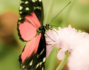 Bright Pink Butterfly - 8x10 photograph - fine art print - nature - nursery art - tropical butterfly