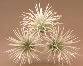 3 Light Green and White Glitter Air Plant - Faux Succulent - Artificial Succulents, Holiday, Christmas