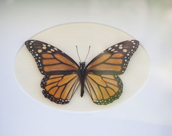 Real Monarch Butterfly 5x7 Display