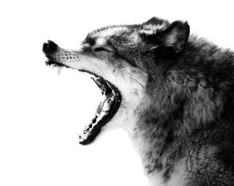 Wolf Art Minimal - Intense Gray Wolf Portrait Photo - 8x10 Black and White Wild Animal Nature Photo Print