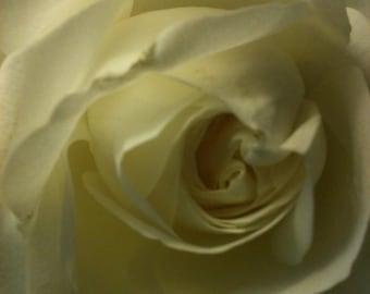 Christina's Rose, White Rose Photograph, Canvas Transfer