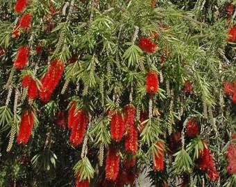 Weeping Bottlebrush (Callistemon viminalis) ... 25 seeds